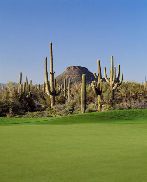 Peacefulness Photograph - Saguaro Cacti In A Golf Course, Troon by Panoramic Images