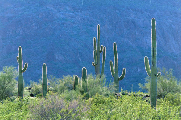 Wall Art - Photograph - Saguaro Cacti by William Ervin/science Photo Library