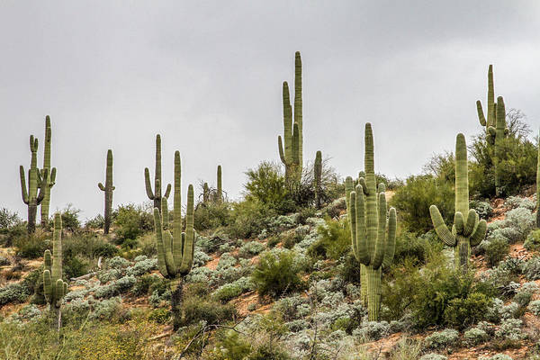 Desert Plant Photograph - Saguaro Cactus  by Bill Gallagher