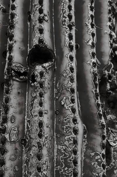 Saguaro Cactus Black And White 1 Art Print