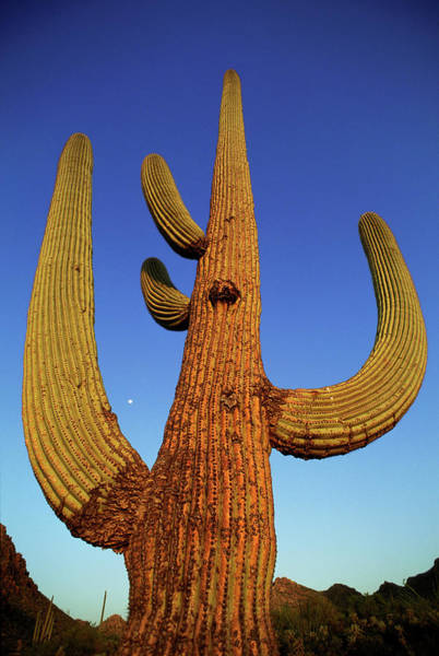 Adapted Photograph - Saguaro Cactus (carnegiea Gigantea) by Peter Menzel/science Photo Library