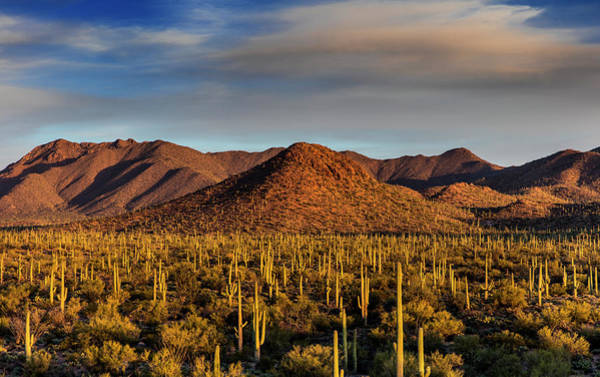 Saguaro Cactus Dominate The Landscape Art Print by Chuck Haney