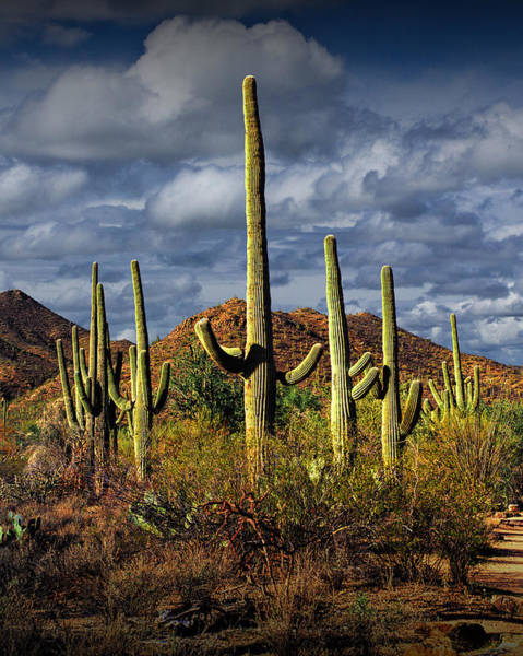 Photograph - Saguaro Cactuses In Saguaro National Park Near Tucson Arizona by Randall Nyhof