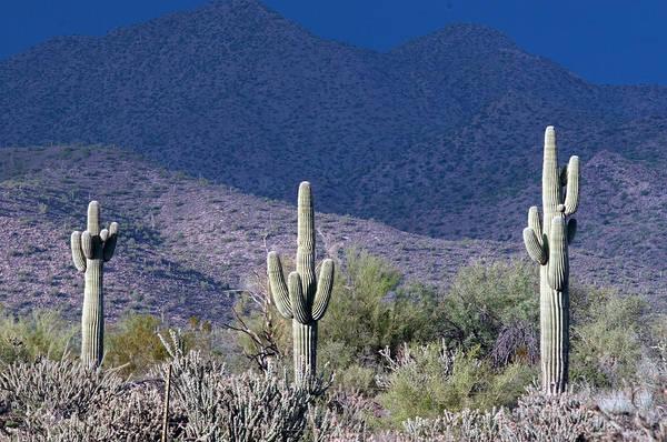 Photograph - Saguaro Sentinel Of The Desert by Tam Ryan