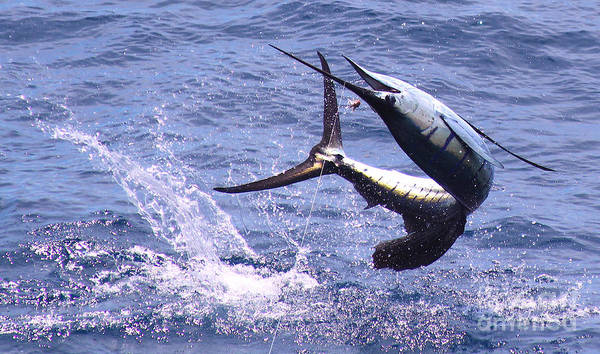 Fly Fishing Photograph - Sailfish Chaos by Carey Chen