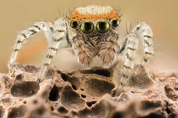 Saitis Barbipes Jumping Spider Art Print