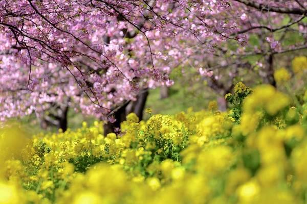 Kanagawa Wall Art - Photograph - Sakura & Rape Blossom by Jun Okada