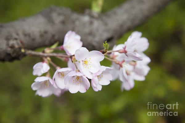 Photograph - Sakura-1 by Tad Kanazaki
