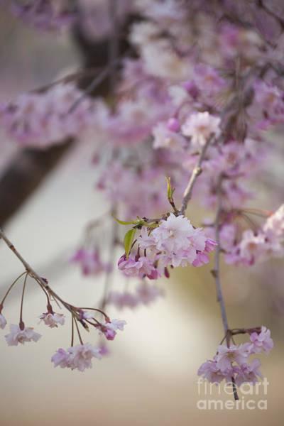 Photograph - Sakura-10 by Tad Kanazaki
