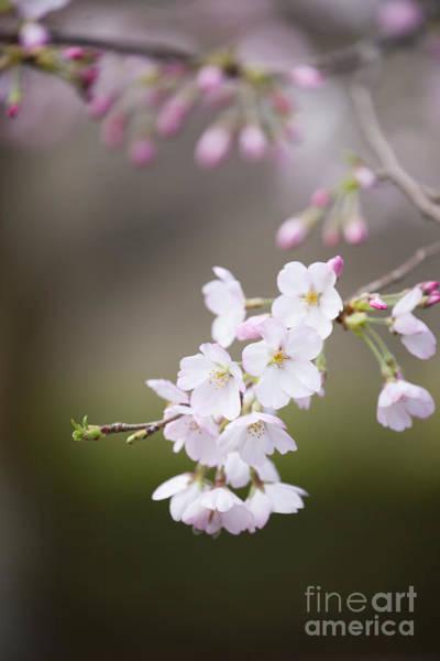 Photograph - Sakura-2 by Tad Kanazaki