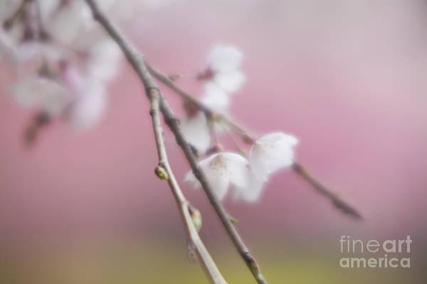 Photograph - Sakura-4 by Tad Kanazaki