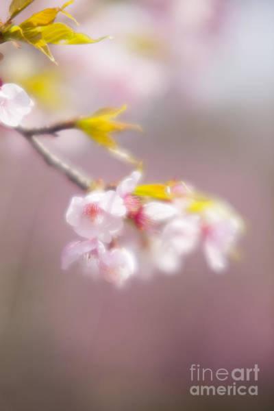 Photograph - Sakura-6 by Tad Kanazaki
