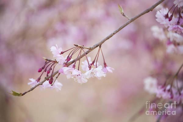 Photograph - Sakura-8 by Tad Kanazaki