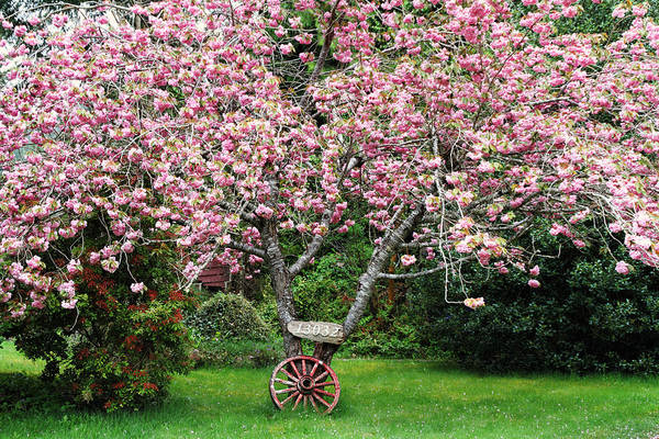 Photograph - Sakura And Wagon Wheel by Peggy Collins
