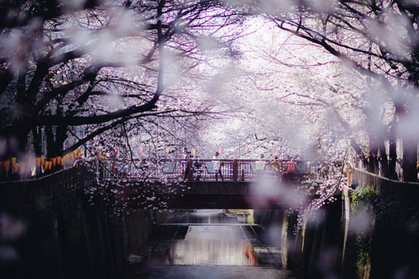 Capital Cities Photograph - Sakura Around Tokyo, Japan by Dear Blue
