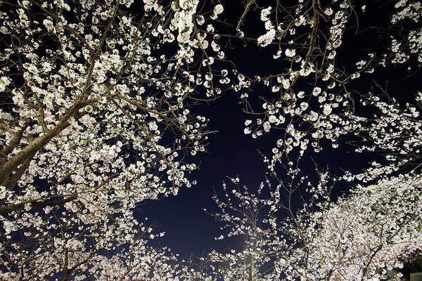 Kamakura Wall Art - Photograph - Sakura At Night by Kumikomini