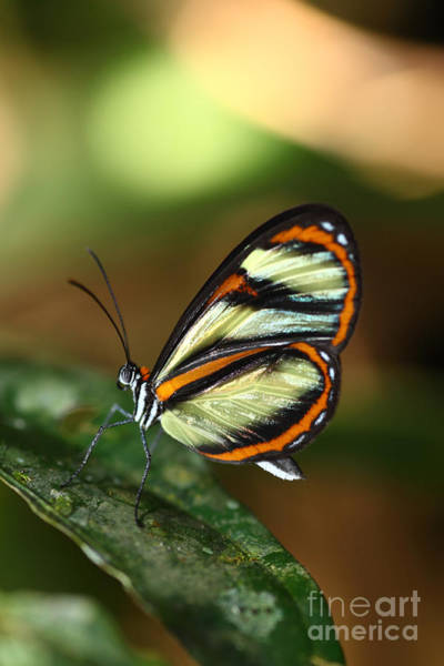 Photograph - Salapia Glasswing Butterfly by James Brunker