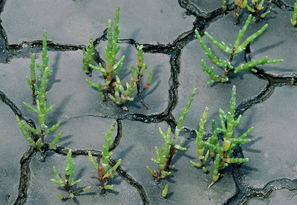 Wall Art - Photograph - Salicornia Europaea by J M Downer/science Photo Library