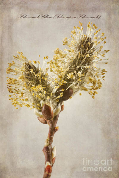 Willow Photograph - Salix Caprea Kilmarnock Catkins by John Edwards
