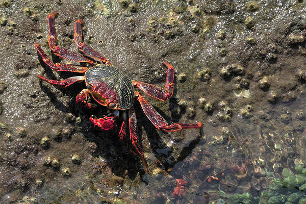 Photograph - Sally Lightfoot Crab by Bradford Martin