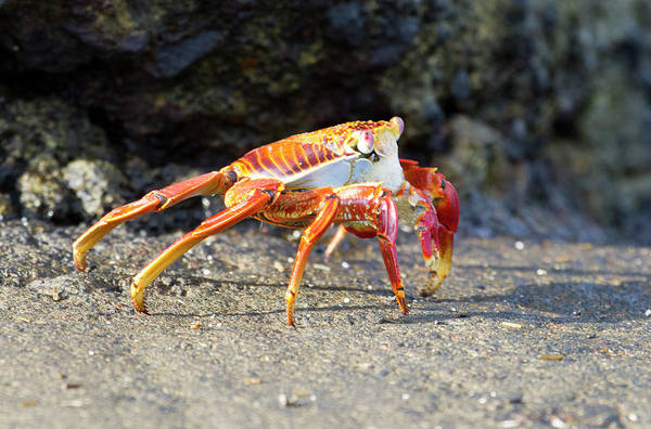 Clawed Photograph - Sally Lightfoot Crab (grapsus Grapsus by Diane Johnson