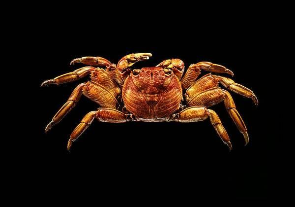Chela Wall Art - Photograph - Sally Lightfoot Crab by Science Photo Library