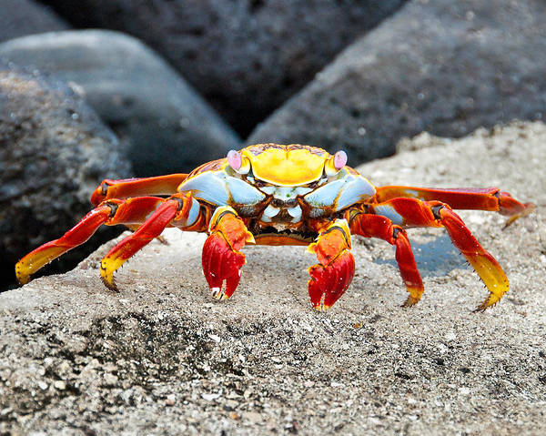 Photograph - Sally Lightfoot Crab by William Beuther