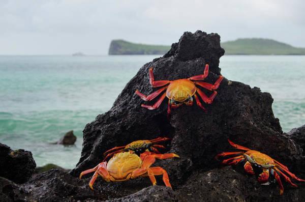 Galapagos Islands Photograph - Sally-lightfoot Crabs by Pearl Vas