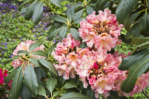Photograph - Salmon Colored Rhododendron by Priya Ghose