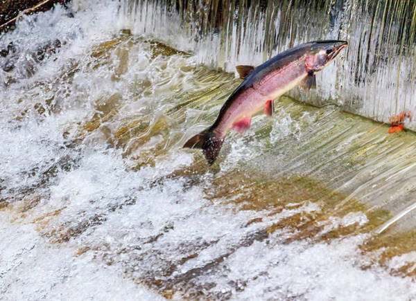 Chinook Salmon Photograph - Salmon Jumping Issaquah Hatchery by William Perry