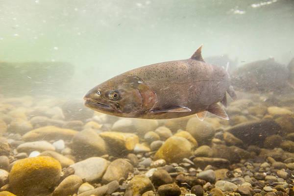 Chinook Salmon Photograph - Salmon Portrait by Tim Grams