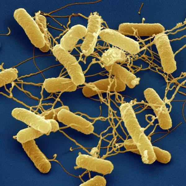 Wall Art - Photograph - Salmonella Typhimurium Bacteria by Juergen Berger/science Photo Library