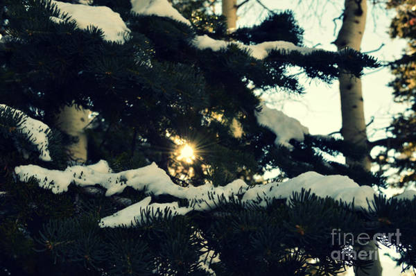 Photograph - Salt Lake City Pine Trees With Snow by Patricia Awapara