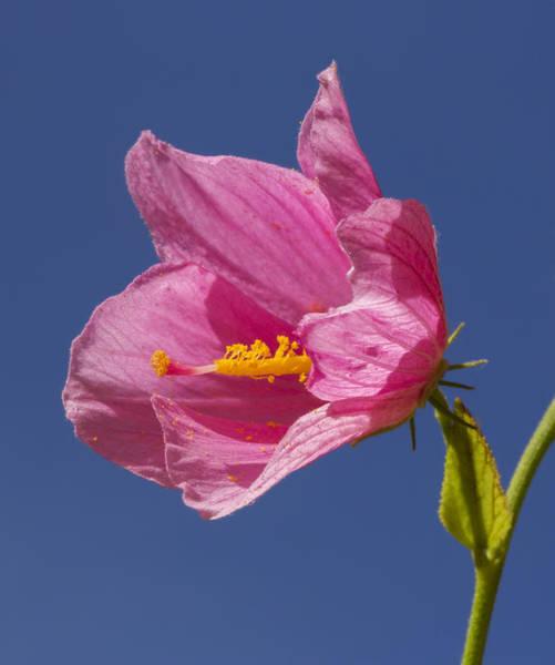 Photograph - Saltmarsh Mallow Flower by Steven Schwartzman