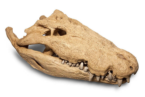 Saltwater Wall Art - Photograph - Saltwater Crocodile Skull by Pascal Goetgheluck/science Photo Library