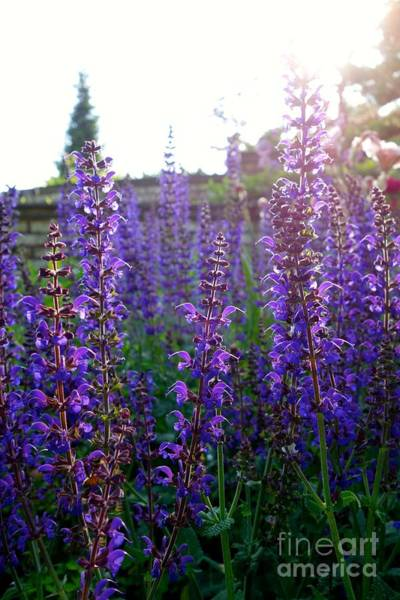 Photograph - Salvia And Sunlight by Jacqueline Athmann