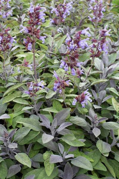 Purple Sage Photograph - Salvia Officinalis 'purpurascens' by Geoff Kidd/science Photo Library