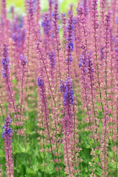 Purple Sage Photograph - Salvia X Sylvestris 'rugen' by Adrian Thomas