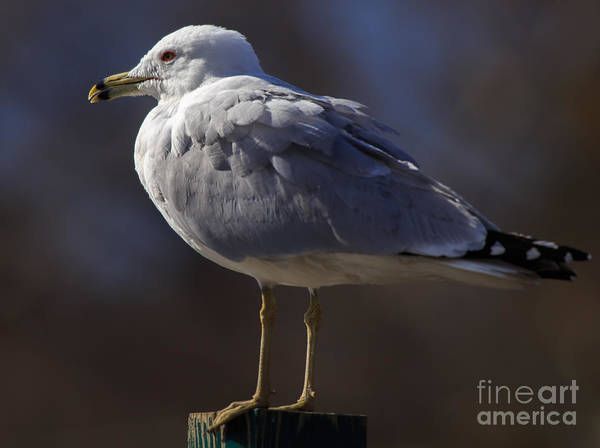 Photograph - Sam Stoic Seagull by Mary Lou Chmura