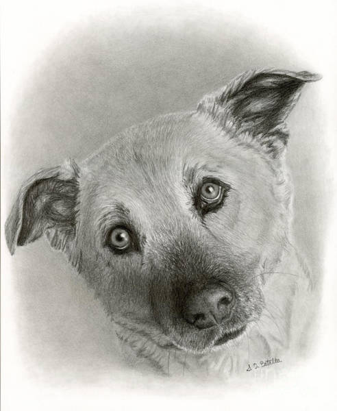 Hand Drawn Drawing - German Shepherd Mix- Sami by Sarah Batalka