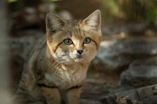 Psi Photograph - Sand Cat (felis Margarita) by Photostock-israel