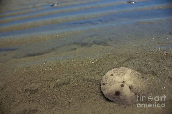 Photograph - Sand Dollar Findings by Amazing Jules