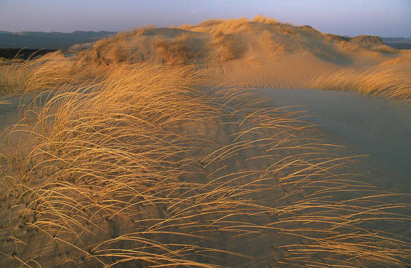 Wall Art - Photograph - Sand Dunes Covered With Beach Grass by Norbert Rosing