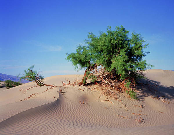 Death Valley Photograph - Sand Dunes In Death Valley With Mesquite Tree by Simon Fraser/science Photo Library