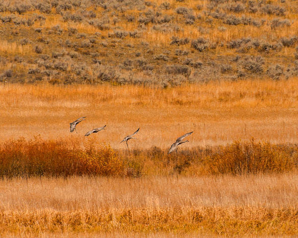 Photograph - Sand Hill Cranes At Slough Creek Yellowstone by Brenda Jacobs