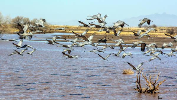 Photograph - Sand Hill Cranes by Elaine Malott