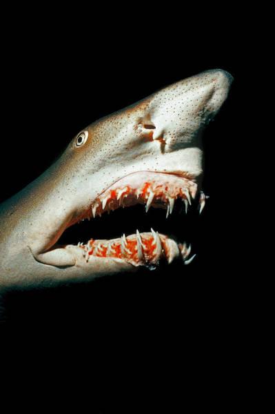 Wall Art - Photograph - Sand Tiger Shark by Jeffrey Rotman
