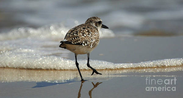 Birds Of Texas Photograph - Sanderling Gulf Of Mexico by Bob Christopher