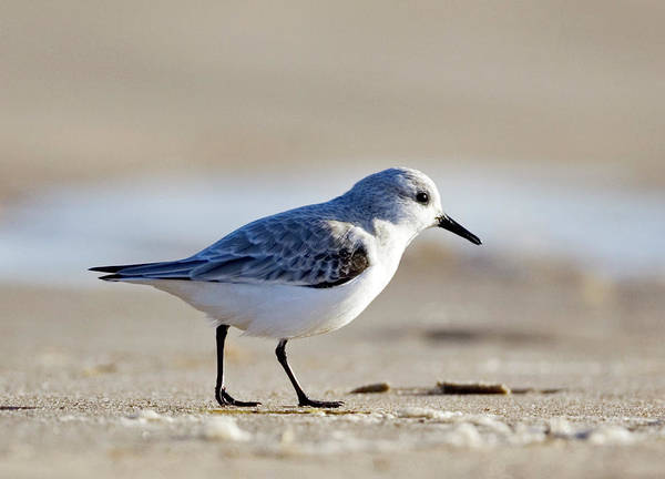 Wader Photograph - Sanderling by John Devries/science Photo Library