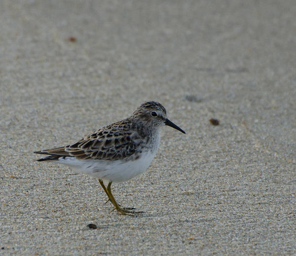 Brian Rock Wall Art - Photograph - Sanderling No 2 by Brian Rock